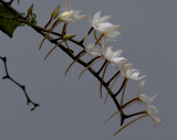 Aerangis biloba, flowers 3 cm