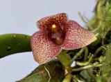 Trias intermedia, flower 2 cm
