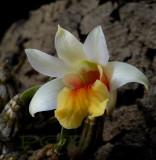 Dendrobium bellatulum, Ueang Sae Mon,  4 cm