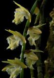 Diaphananthe sp. flowers 2.5 cm