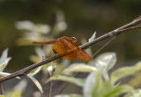 Neurothemis fulvia, female