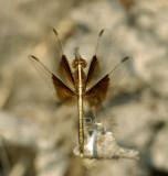 Neurothemis tullia, immature male