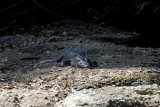 Crocodile on the river bank, Crocodylus siamensis