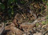 Snake, Elaphe sp.