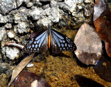 Blue Butterfly, Parantica melaneus