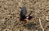 Birdwing sucking minerals on the riverbank, Pachliopta aristolochiae