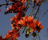 Butea monosperma, close, flowers 10 cm across