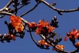 Wild Kapok, flowers 12 cm