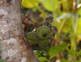 Wild fig tree