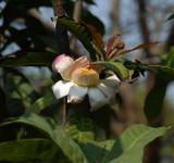 Tree in bloom, flowers 12 cm
