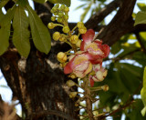 Temple tree,  Couroupita guianensis, introduced from Brasil,   flowers 15 cm