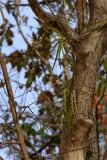 Tree with Vanda lilacina orchids
