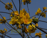 Yellow Silk-cotton tree, Cochlospernum gossypium, flowers 8 cm