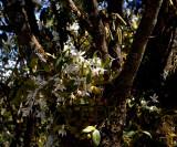 Coelogyne corymbosa , 2600 mtr. Thailand