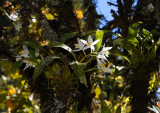 Coelogyne corymbosa and moss, temp is 12 cel. -  hum. is at 13.00 PM 45%, at night 85%