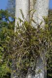 Dendrobium uniflorum