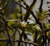 Dendrobium uniflorum, close