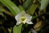 Dendrobium auriculatum laos