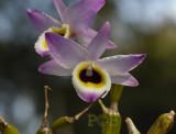Dendrobium findlayanum,  form oculatum, local name is Ueang Phuang Yok-Wai Pom