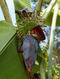 Banana, Musa sapientum