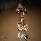 Fighting cock kaytee