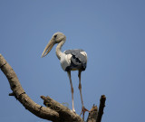 Asian openbill stork, Anastomus oscitans