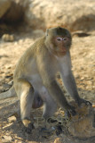 Macaque, I think it's a male..