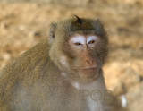 Monky portret, Krabben etende makaak, stranden Thailand