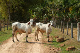 Asian cows