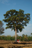 Holy yang (Dipterocarpus wallichii) tree with Ghost house