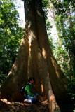 Schima tree