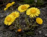 Klein hoefblad, Tussilago farfara, een zeer ondergewaardeerd plantje