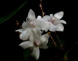 Dendrobium aberans