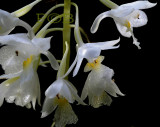Diaphananthe sp.  flowers 1 cm
