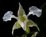 Dendrobium forbesii, close-up