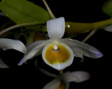 Dendrobium findlayanum, pale form