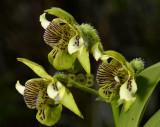 Dendrobium  macrophyllum, side view
