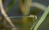 Ischnura senegalensis, female