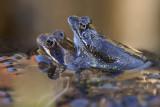 Kikkers, Rana temporaria (bruine kikker)