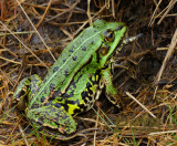 Poelkikker eet libel-frog feeding on dragonfly