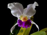 Cattleya trianaei semi-alba