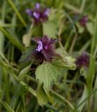 Paarse dovenetel westelijke vorm, Lamium purpureum var. incisum