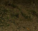 Koraalwortel habitat