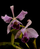 Cattleya warnerii