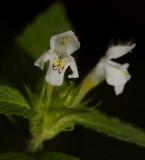 hennepnetel, Galeopsis tetrahit