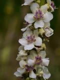 Verbascum nigrum alba