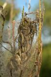 Rupsen wilgenstippelmot, Yponomeuta rorrella