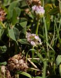 Aardbeiklaver, bloem, Trifolium  fragiferum