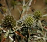 Kruisdistel, Eryngium campestre