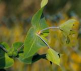 Kruisbladige wolfsmelk, Euphorbia lathyris